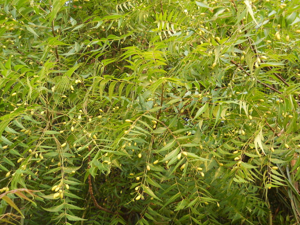 Where to find neem leaves