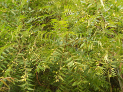 Neem Leaves and Oil: Health Benefits, Uses for Skin and Hair, and Side-Effects