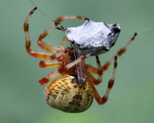 The spiders spinnerets at work