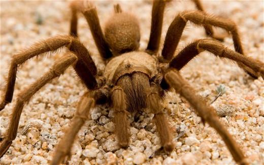 A large dangerous tarantula spider