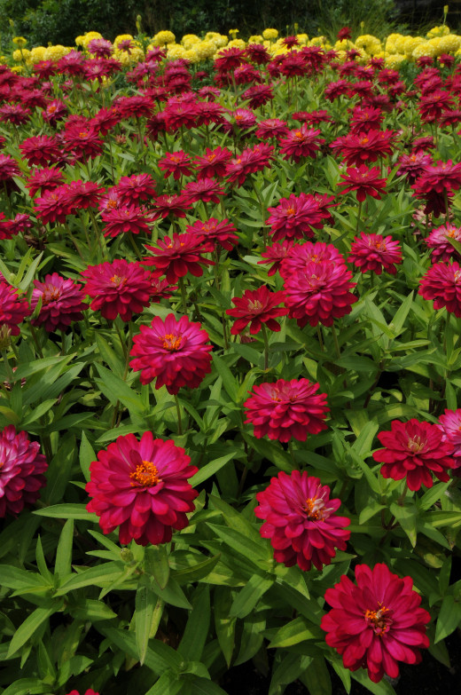 Profusion zinnias come in several colors in both single and double flowers.