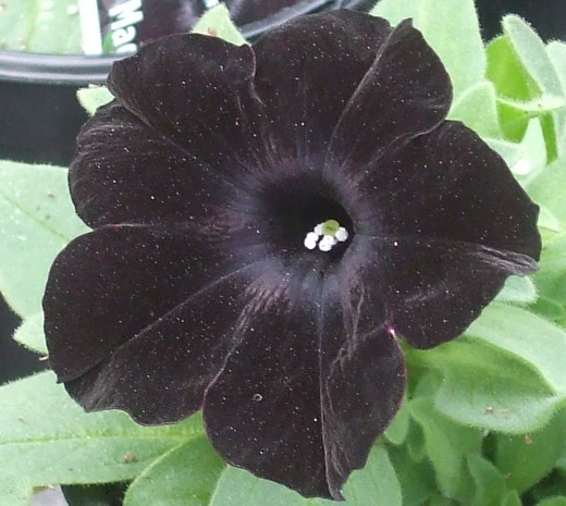 PW petunia Black Magic.