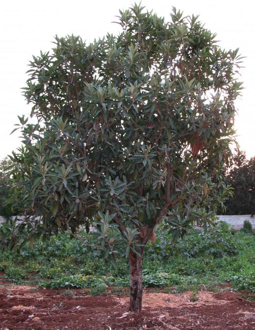 The Loquat is an Ornamental Evergreen Tree