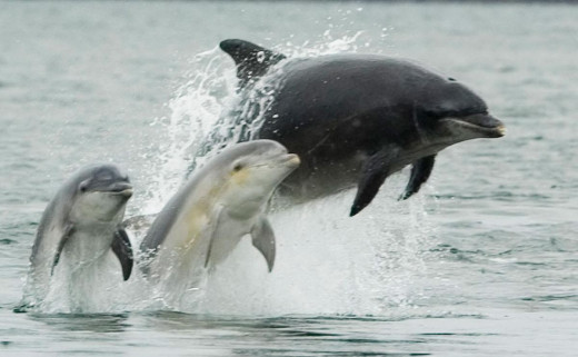 Bottlenose dolphin with two young.
