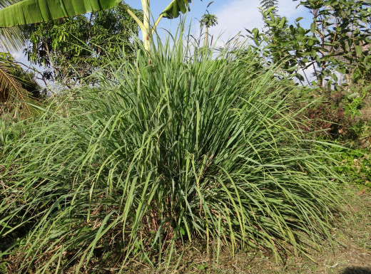 Lemongrass growing in India