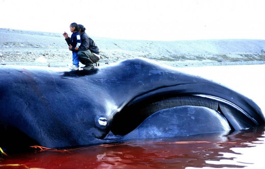 Bowhead whale (Balaena mysticetus), caught in an Inuit subsistence whale hunt in Igloolik, Nunavut (Canada) in 2002.