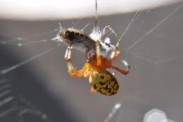 Like yellow garden spiders, Araneus marmoreus is a common orbweaver spider.