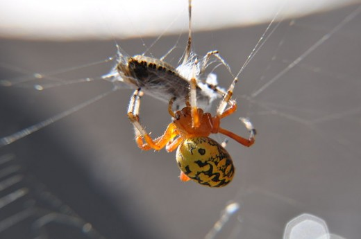 Like yellow garden spiders, Araneus marmoreus is a common orbweaver spider.