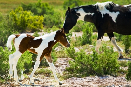 American Paint Horse  Mom and baby