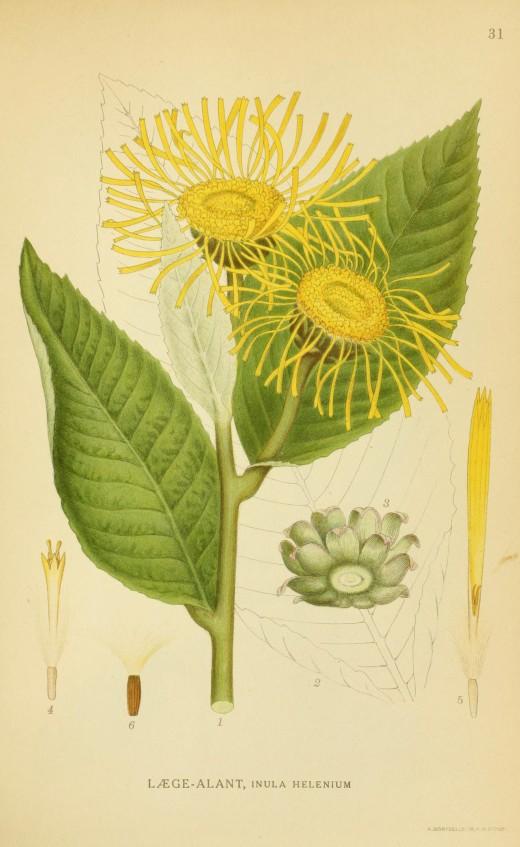 Billeder of Norden's Flora {BHL}
