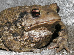 The Toad seems to be gifted in predicting Earthquakes.
