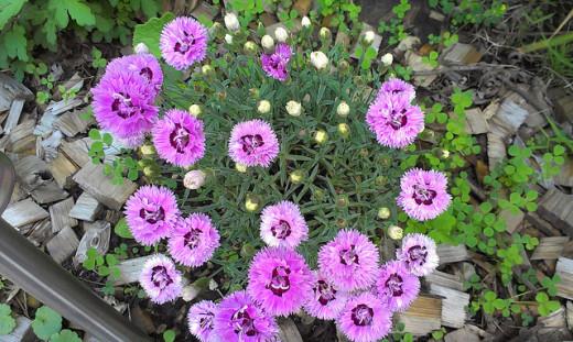 "Dianthus ""Pop Star Pink"""
