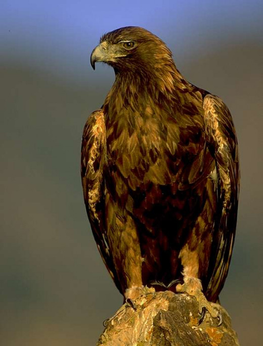 Golden Eagel
