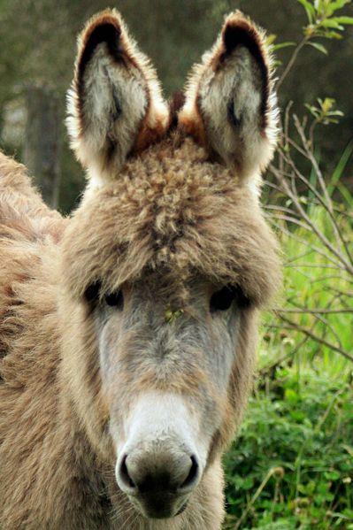 Páramo baby donkey