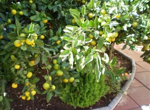 My new lemon tree full of lemons.