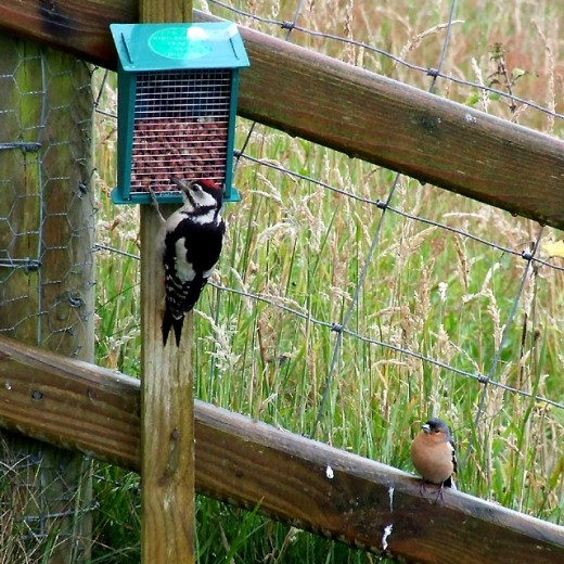 """""""Can I have some nuts too, please?"""" This chaffinch waited ages for his go at the peanuts. The sloping fence down the steps at Ty'n Cornel is a convenient place to queue, and often has several birds waiting in line when the woodpecker hogs the self-s"""