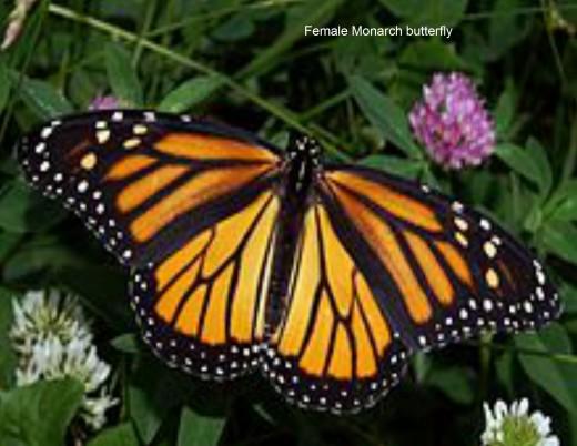 American Monarch Butterfly