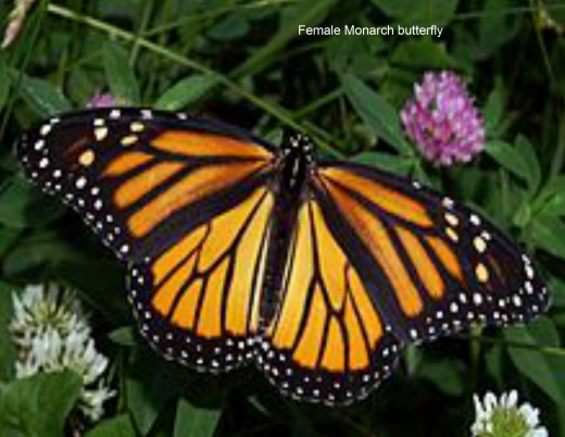 American Monarch Butterfly