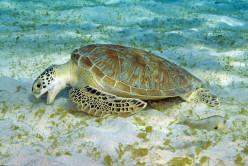 What Do Sea Turtles Eat? Food And Diet Of A Sea Turtle