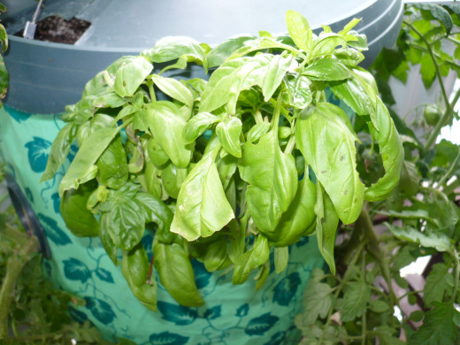 Basil grown with tomatoes keeps the insects away from your tomatoes.
