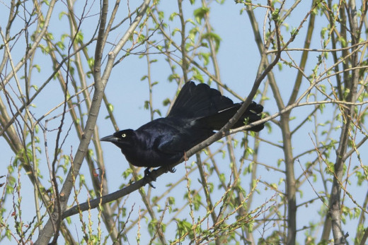 Great-tailed Grackle in Breeding Plumage