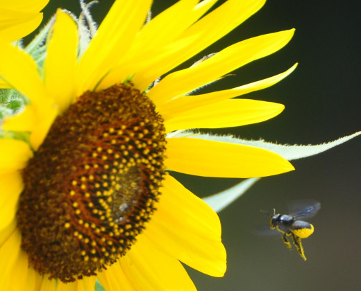 Sunflowers are an ideal choice for attracting bees into the garden.
