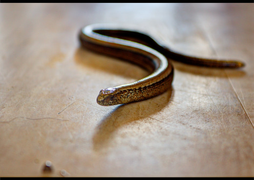 Slow worms may look like snakes but are actually a type of legless lizard.