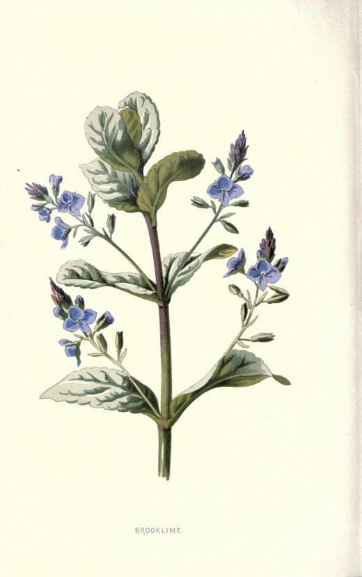 Familiar wild flowers {1878} Edward Hulme