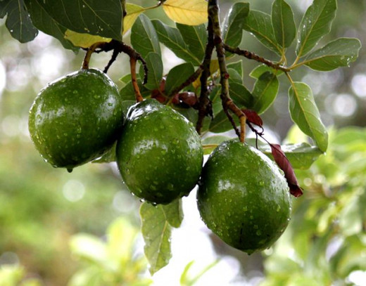 It takes about five years before the avocado tree starts bearing fruits. image of avocado on tree