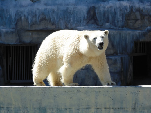 Zerfika the Polar Bear from the Nikolaev Zoo, one of the many animals in desperate need of food to avoid starvation.