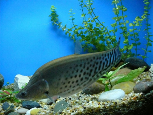 Knifefish are extremely attractive, but potentially massive, aquarium fish that are readily available on the market.