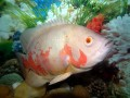 Aquarium Giants: Which Fish Get HUGE? Big Freshwater Tropical Fish for Large Aquariums that are Sold Small
