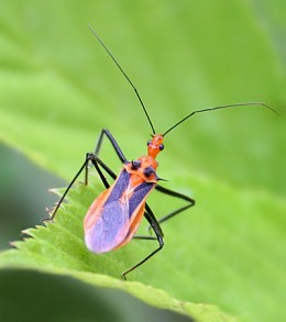 Horned Assassin Bug