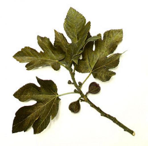 300px-Fig_tree