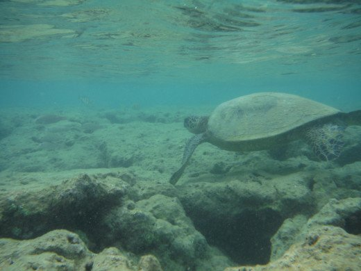 "This Green Sea Turtle swam by and waved.  I soon got the name ""honu hawanawana"" or turtle whisperer."