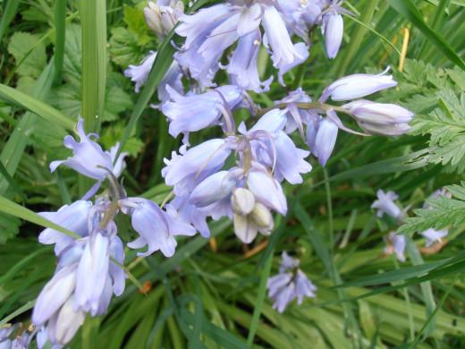 The Wild Hyacinth