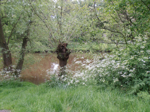 Willows and cow parsley along the water