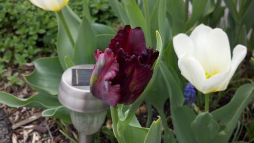Tulip Black Parrot
