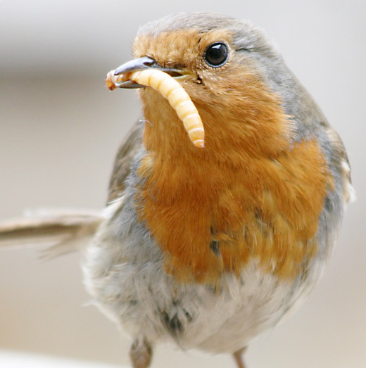 A European robin with a mealworm; mealworms are insect larvae and are a good source of protein for humans