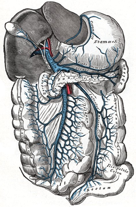 Parts of the digestive system shown with blood vessels.