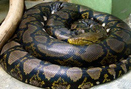 Reticulated Python photo from wiki