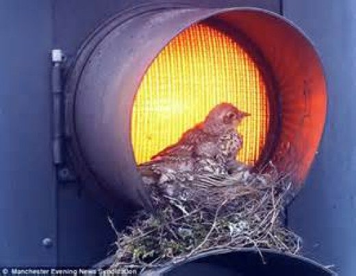 Thrush Sets Up Housekeeping in the City