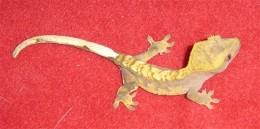 Crested Gecko. Juvenile.