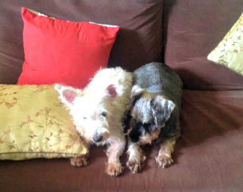 My terriers, Misty and Cloudy.