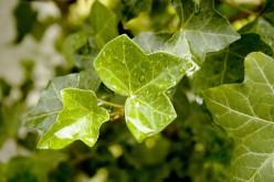 English Ivy Symbolism, Traditions and Mythology