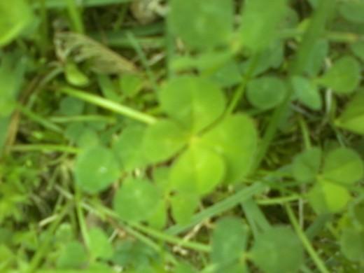 Beautiful Four Leaf Clover