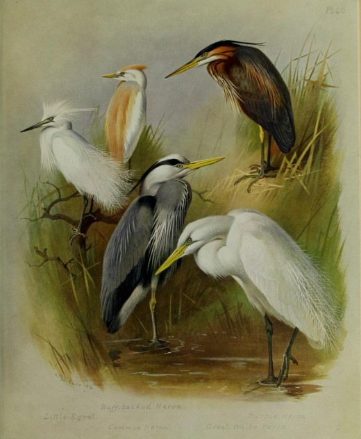 Illustration by Thornburn [British Birds} Courtesy of the BHL