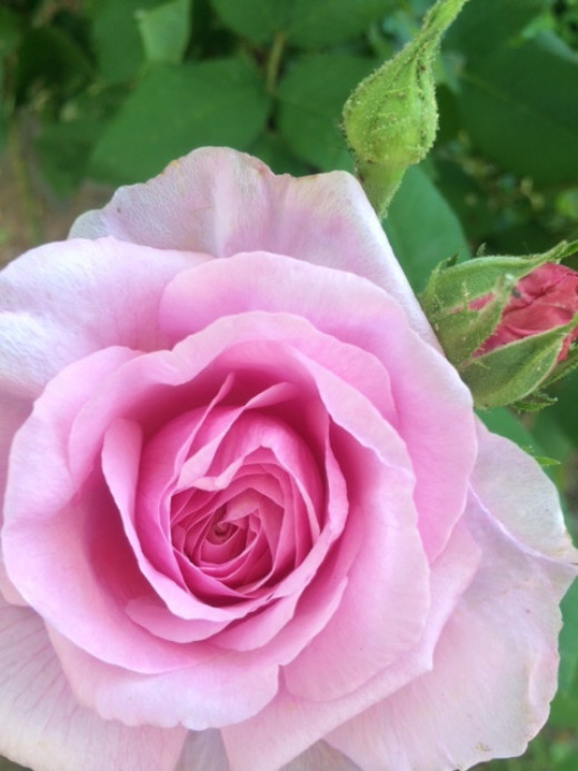 Southern Gardens are incomplete without at least one species of the beautiful, fragrant rose.