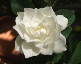 The scent of the gardenia is heady and intoxicating.