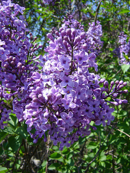 Lilacs present as  beautiful clusters of soft fragrance.